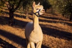 IPNO-albus-alpacas02