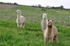 albus alpacas cinigiano