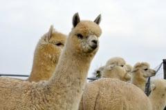 albus alpacas fibra