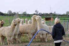 albus alpacas maremma toscana