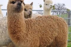 allevameni alpaca italia