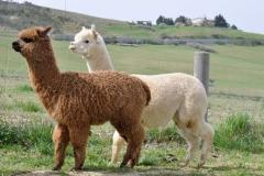 allevamenti alpaca italia
