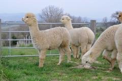 allevamenti alpaca toscana