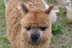 allevamento alpaca grosseto
