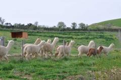allevamento alpaca maremma