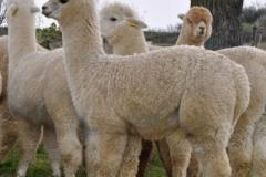 allevamento degli alpaca