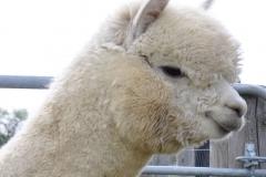 alpaca-cinigiano-allevamento