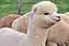 alpaca-cinigiano-fattoria