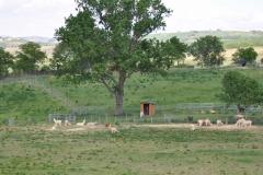 alpaca cinigiano gr