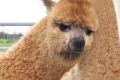 alpaca-cinigiano