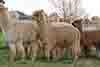 alpaca grosseto