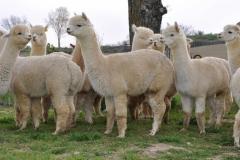 alpaca in italia