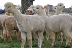 alpaca in toscana