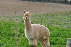 alpaca-la-trisolla