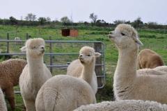 alpaca maremma grosseto