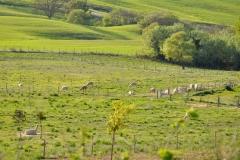 alpaca maremma