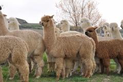 alpaca sasso d'ombrone