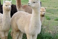 alpaca toscana