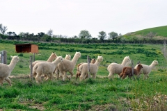 alpaca-trekking-cinigiano