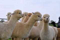 alpaca_latrisolla