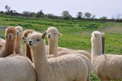compravendita alpaca