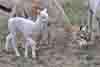 cuccioli-alpaca