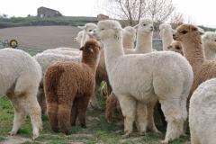 gli alpaca