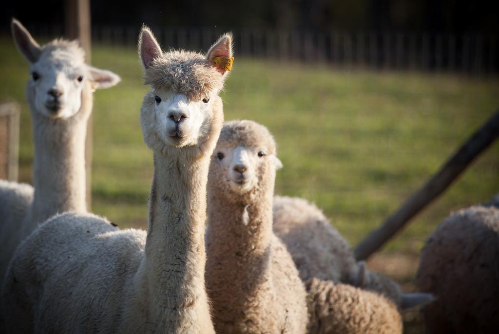albus alpacas 3