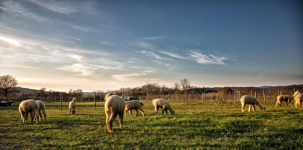 Albus Alpacas Alpaca in Toscana